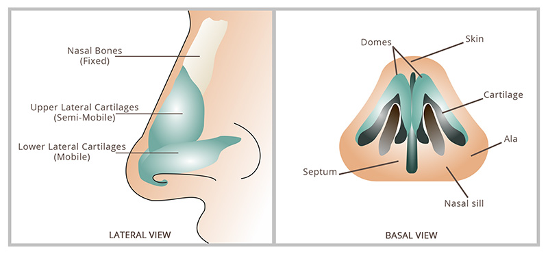 Anatomy of nasal tip and areas of focus during a Rhinoplasty procedure.